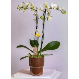 Orhidee Phalaenopsis Umbrela